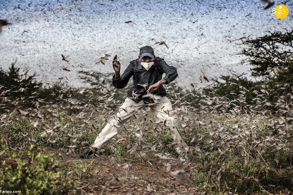 حمله ملخ ها به مزارع کشاورزی در شرق آفریقا (عکاس: لوئیس تاتو)