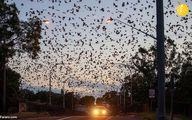 تصاویر عجیب از هجوم خفاشها به استرالیا!