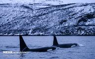 تصاویر: شنا با نهنگ های قاتل در آبهای نروژ