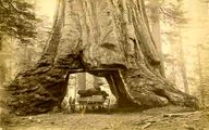 عکس بلندترین و قطورترین درخت جهان که 150 سال پیش قطع شد
