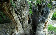 تصویر کهنسالترین درخت پسته جهان با عمر 1500 سال