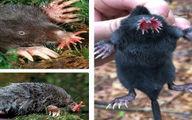 زشت ترین و متفاوت ترین موش دنیا+جزئیات