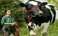 عکس بلندقد ترین گاو دنیا با قد ۲۲۵ سانتی متر