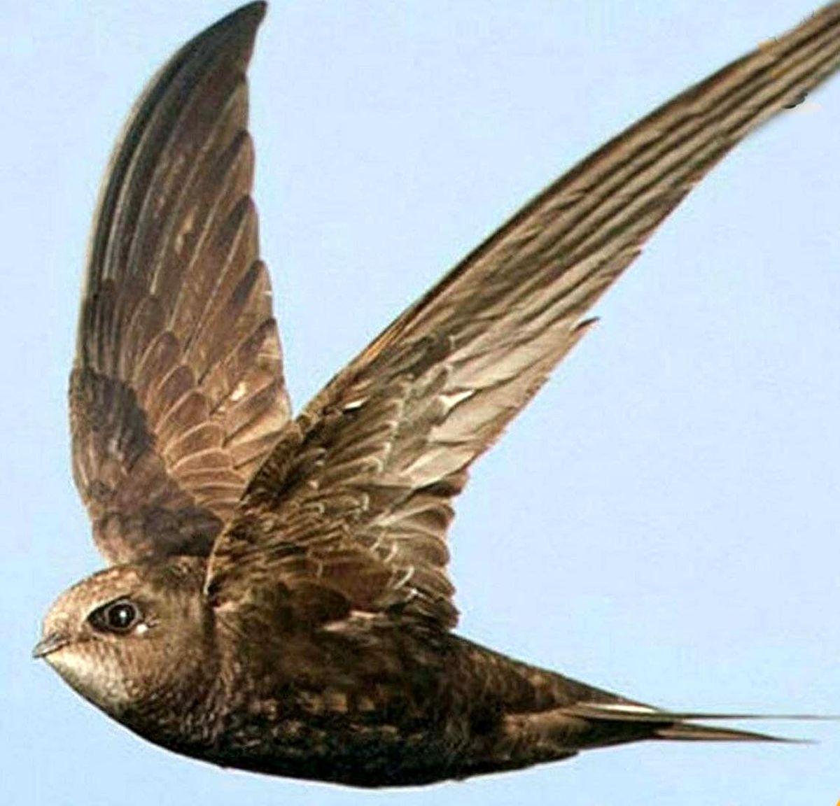 بادخورک؛پرنده ایی که بی وقفه 10 ماه پرواز می کند