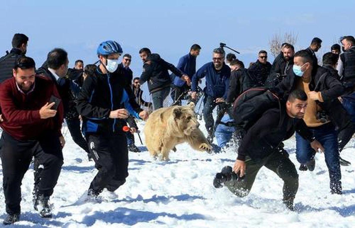 تصاویری عجیب از آزاد کردن ۶ خرس سوری در کوهستانهای منطقه دهوک