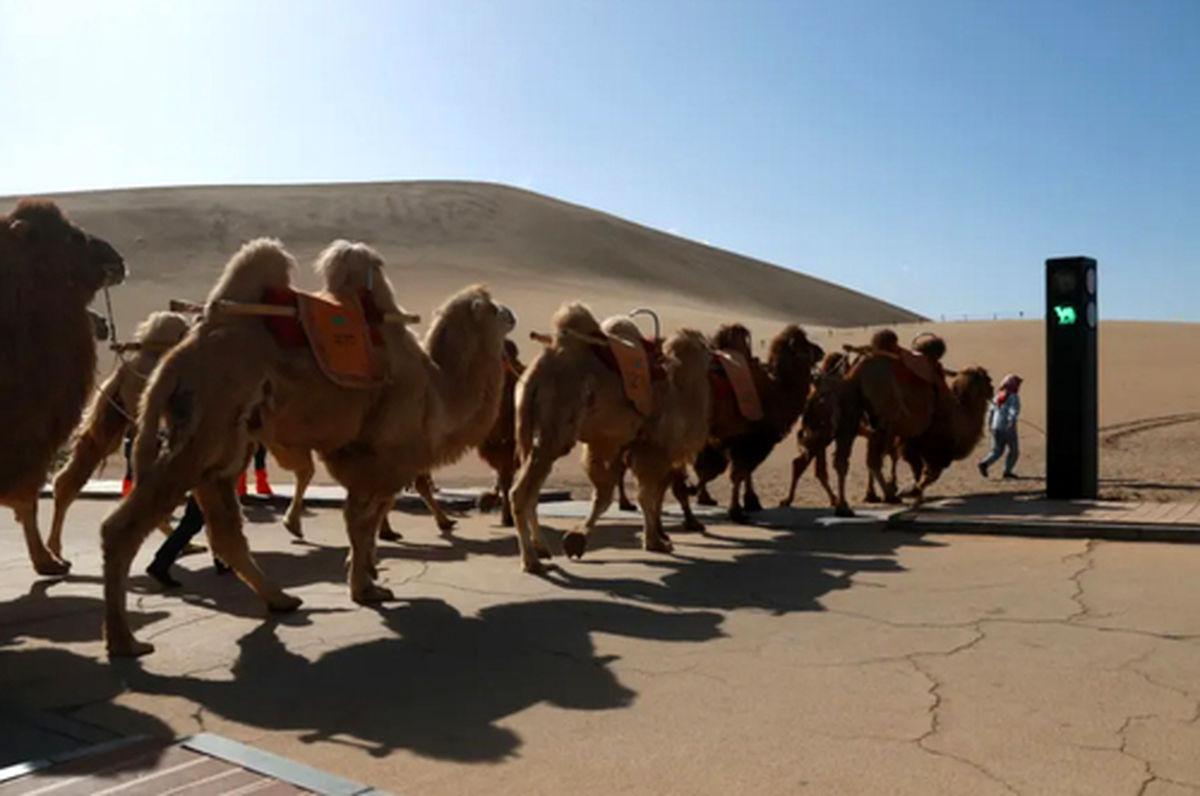 عکس غجیب از نصب چراغ راهنمای مخصوص عبور شترها