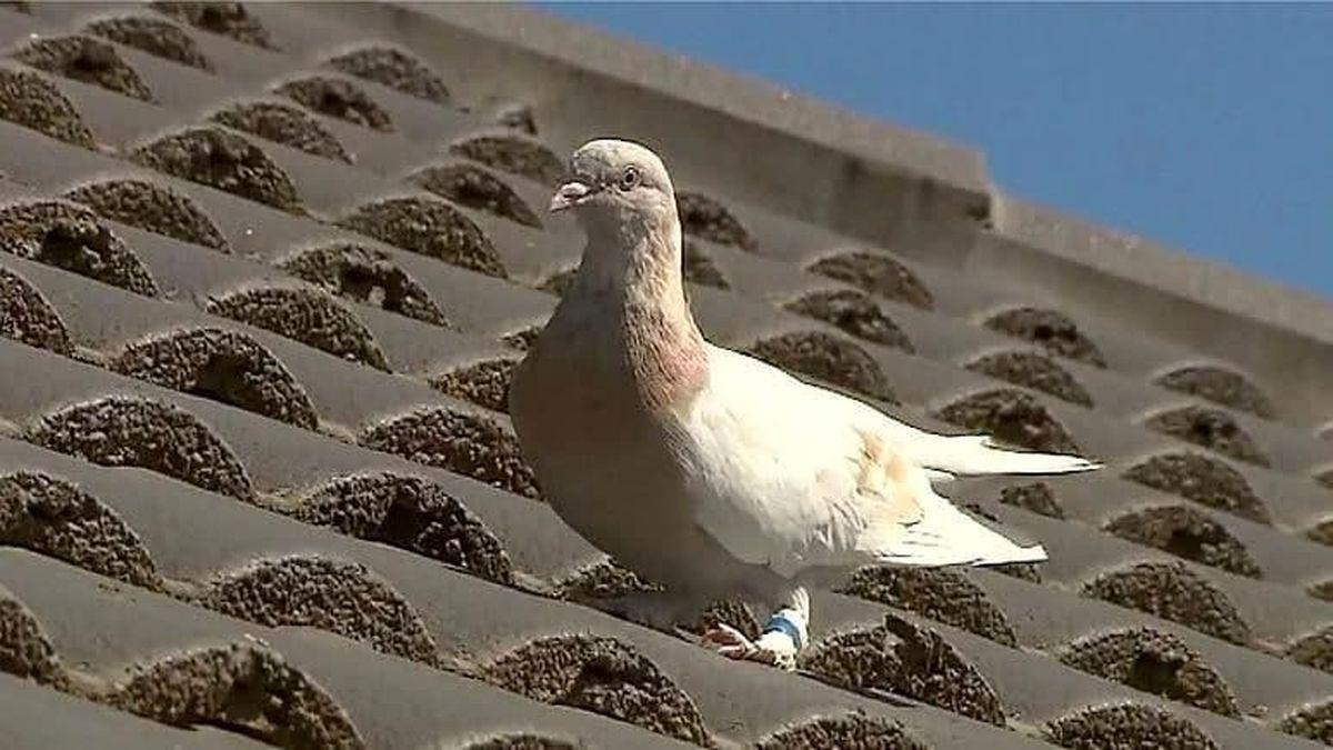 تصویری از کبوتر تقلبی که خود را از آمریکا به استرالیا رسانده بود