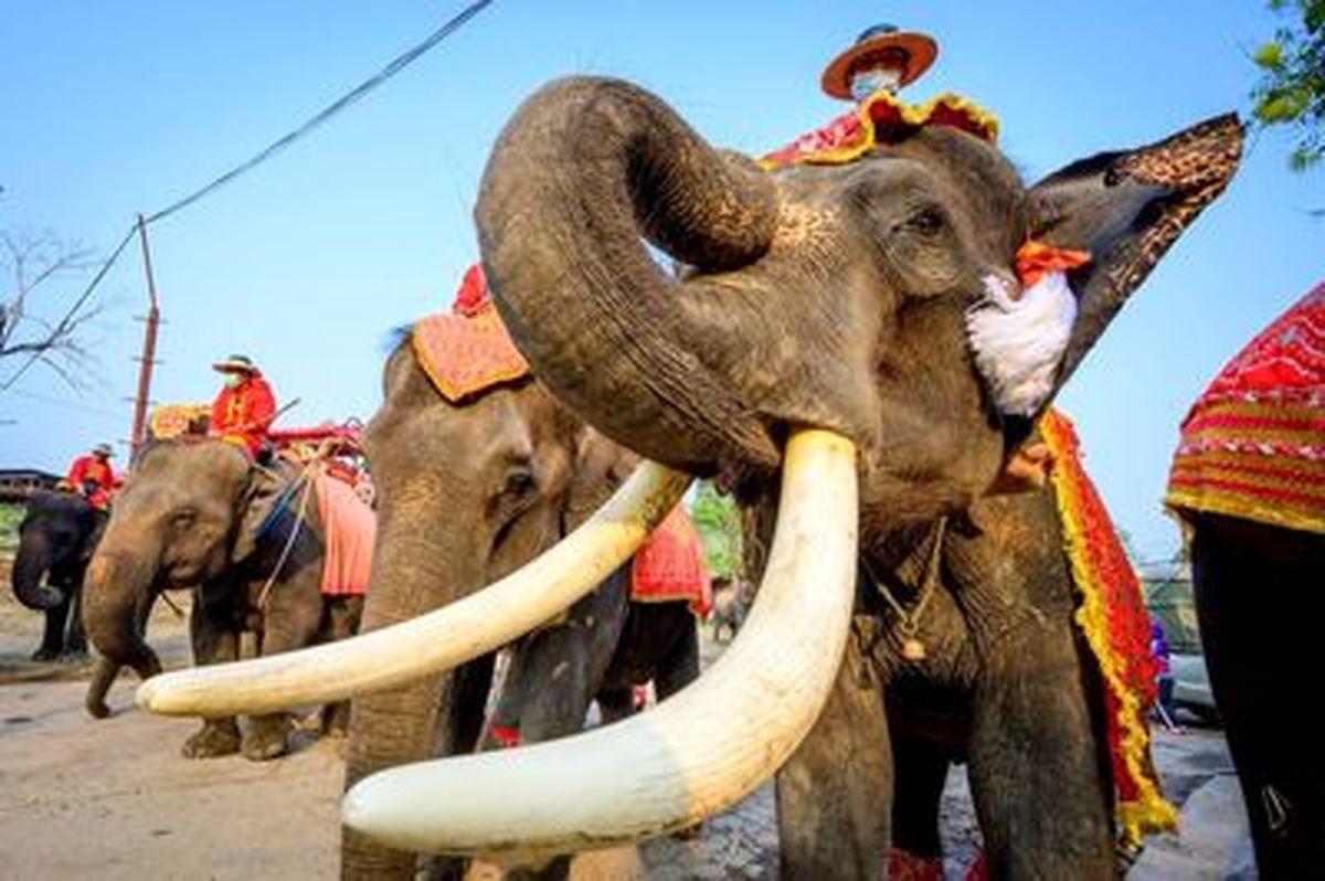 تصاویر خفن و زیبا از مراسم «روز ملی فیل» در تایلند
