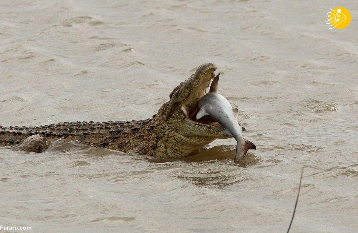 تصاویری نادر و دیده نشده از لحظه شکار گاوکوسه توسط تمساح نیل