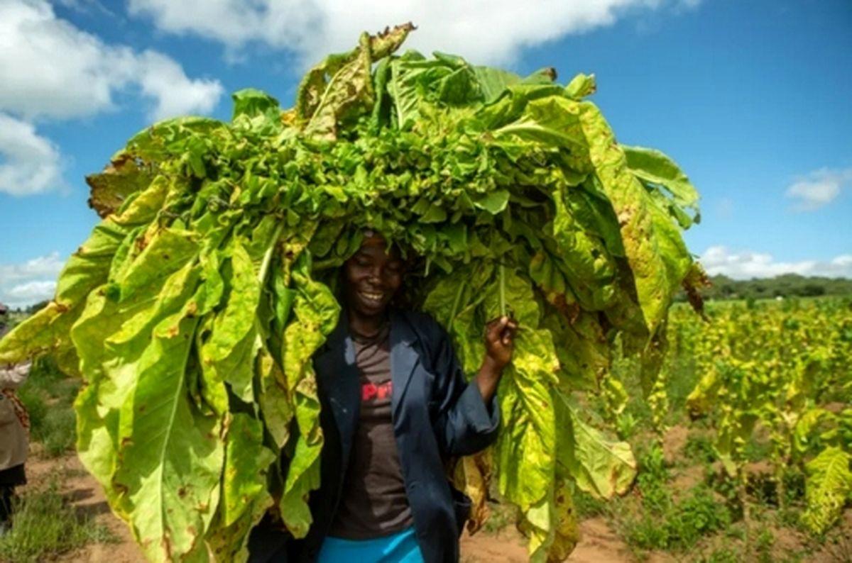 مزرعه کشت تنباکو در زیمبابوه+عکس