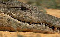 تصویر واقعی از اشک تمساح که ضرب المثل شده