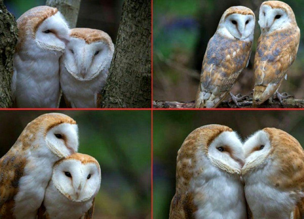 تصاویر شگفت انگیز ازجغد انبار عاشق ترین پرنده دنیا