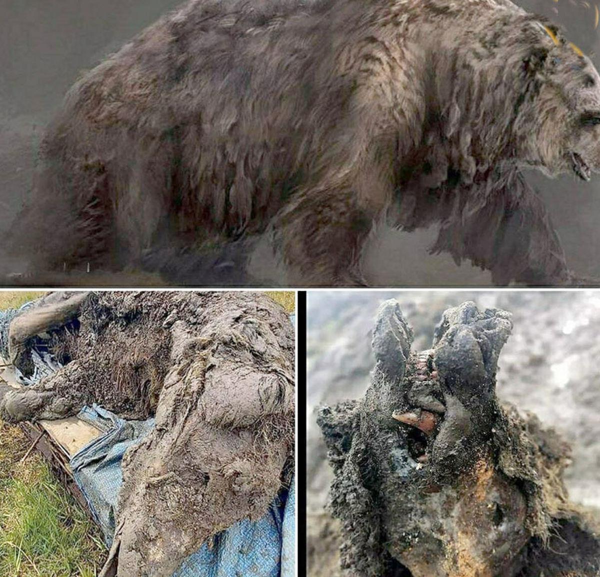 تصاویر یک خرس 39 هزار ساله سالم به وزن 1.5 تن