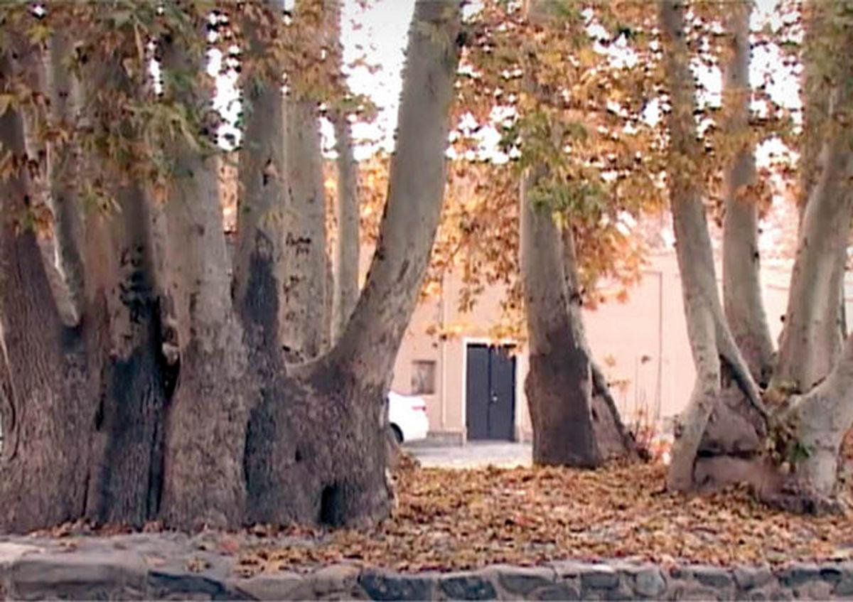 عکس درختی با ۲۰ فرزند در ایران!