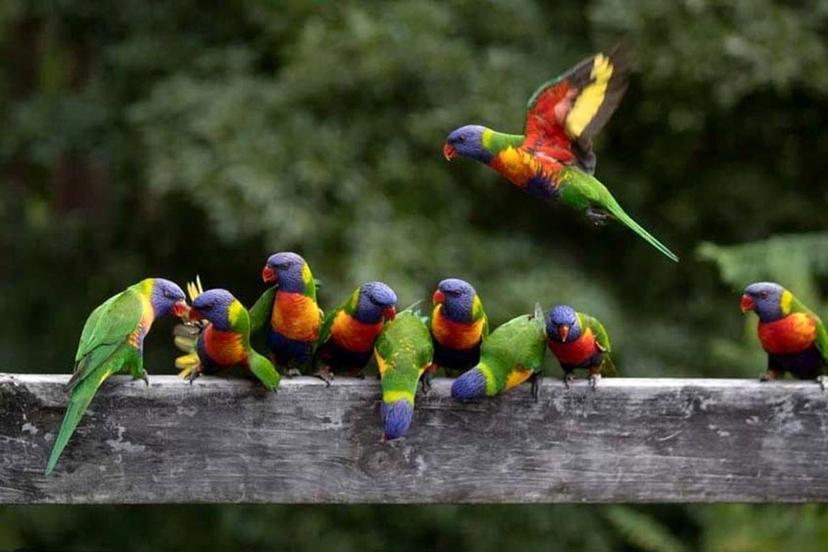عکسی منتخب از طوطیهای رنگین کمانی
