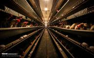 تصاویری جالب و دیدنی از مزرعه تولید تخم مرغ