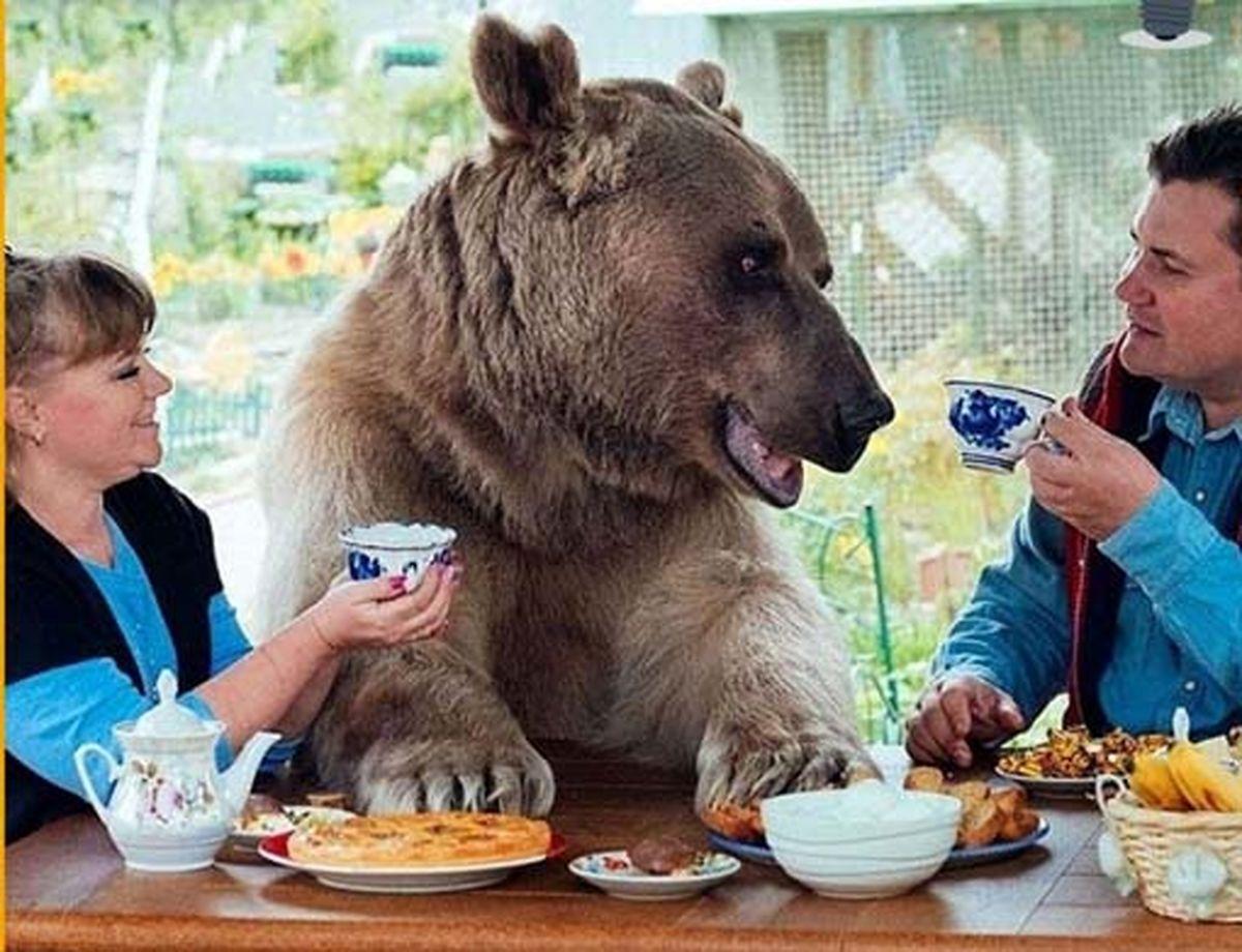 اهلی ترین خرس جهان؛عکس