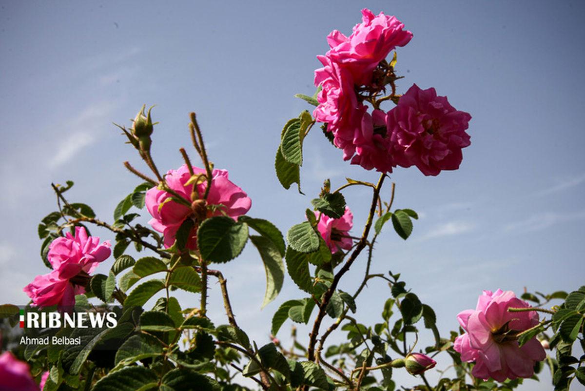 تصاویری زیبا از برداشت گل محمدی و گلابگیری سنتی در زابل
