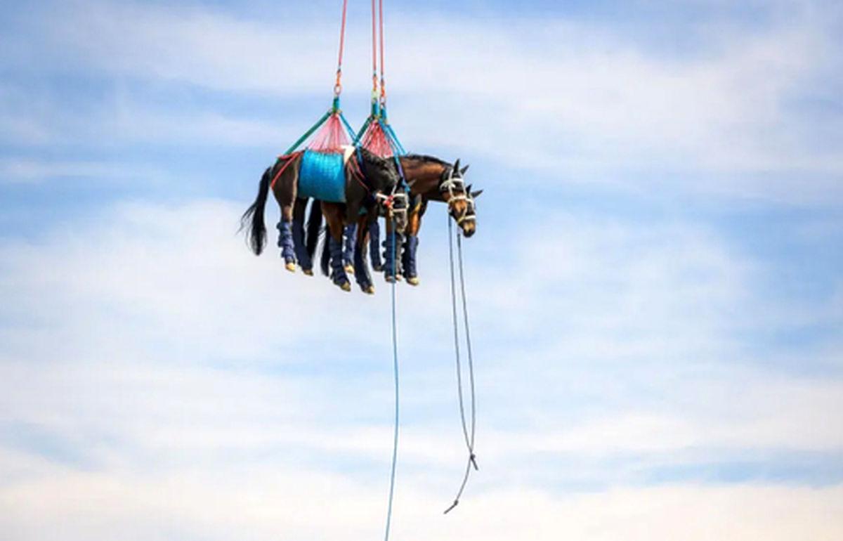 عکس جالب از انتقال ۳ اسب صدمه دیده با هلی کوپتر
