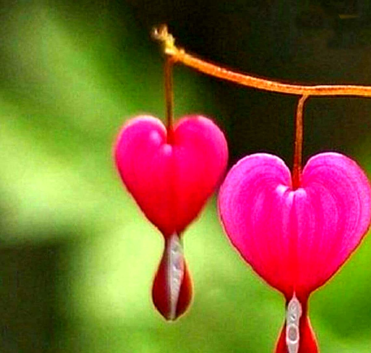 گل هایی عجیب به شکل قلبی که از آن خون می چکد