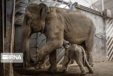 بچه فیل ایرانی