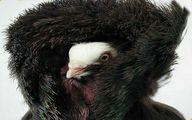 عکس نایاب از پرنده پالتو پوش