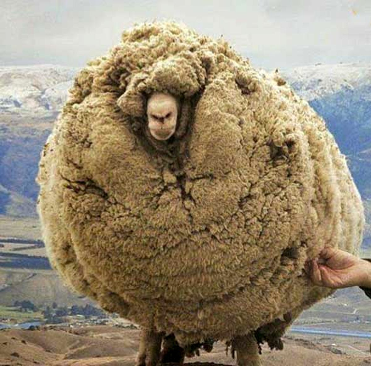 عکس عجیب از میزان رشد پشم گوسفند
