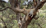 خواب راحت پلنگ بالای درخت / عکس