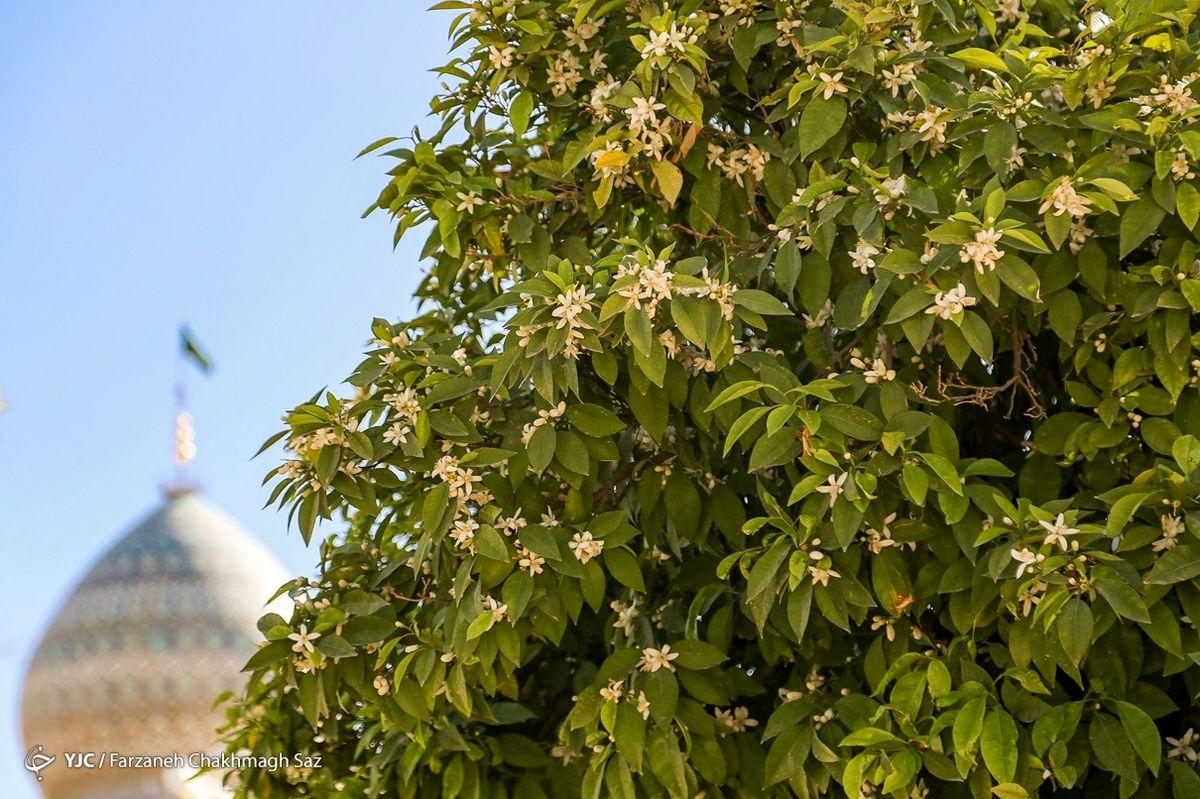 تصاویر زیبا و دل انگیز از شکوفههای بهارنارنج در شیراز