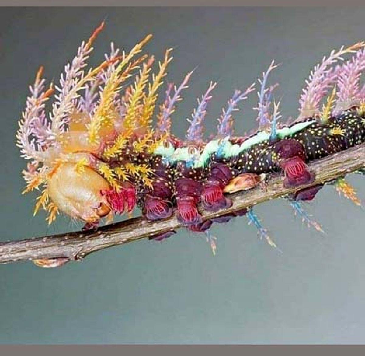 عکس: زیبا ترین گونه های کرم ابریشم!