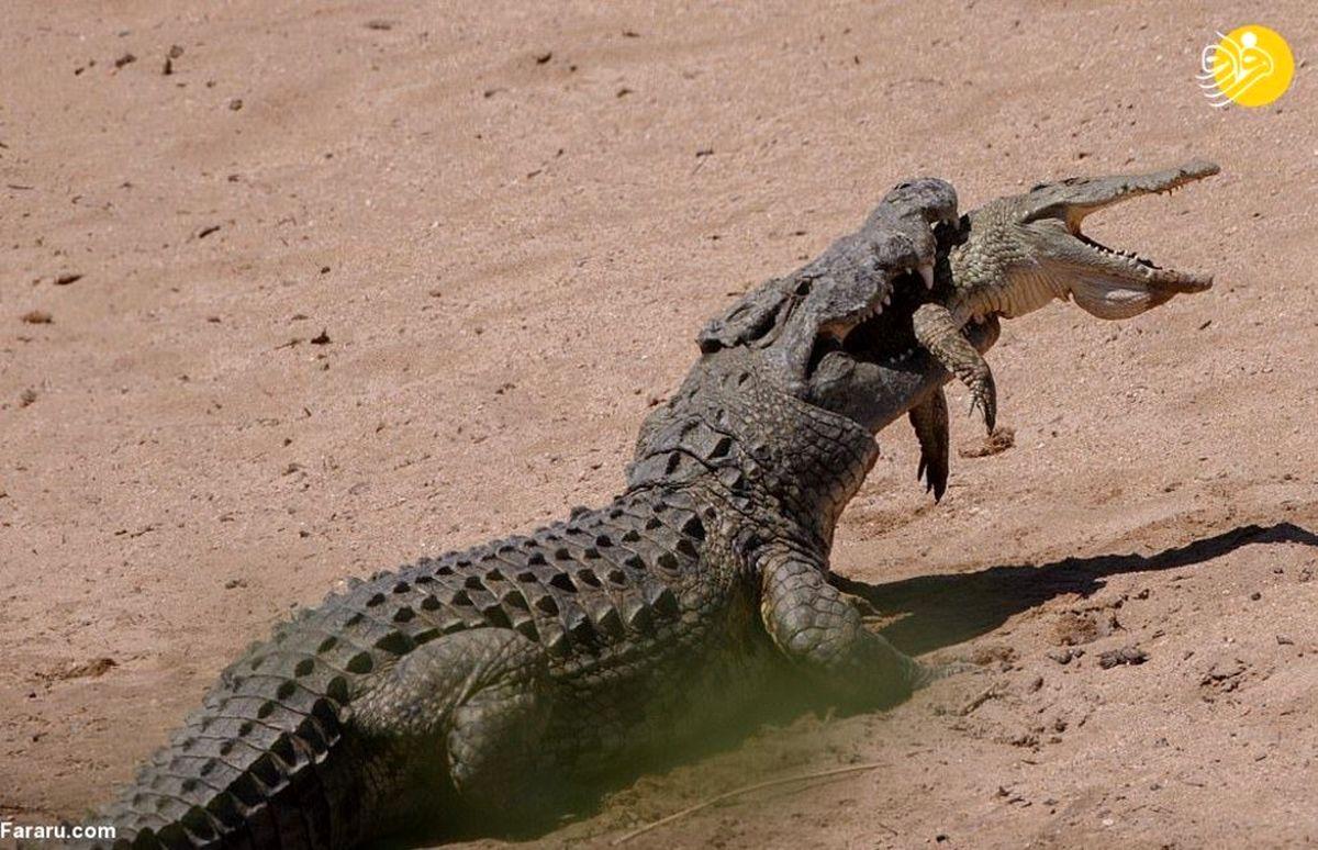 عکسی زیبا از یک تمساح آدم خوار ۱۲۰۰ پوندی