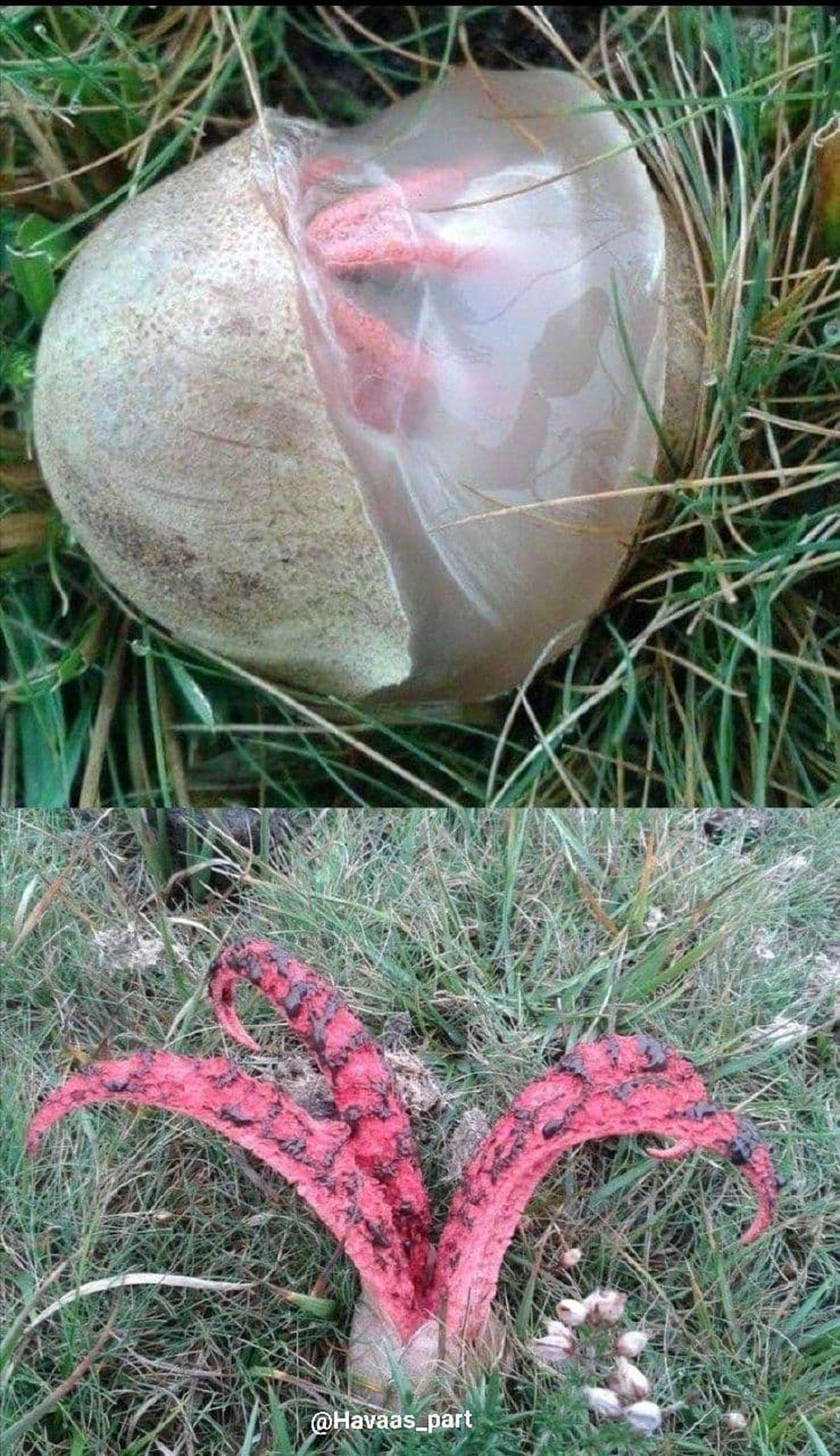 قارچی ترسناک معروف به انگشت شیطان!+عکس