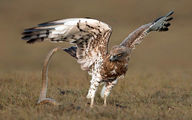 عکس/ جنگ عقاب و مار