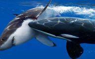 صحنه فلج کردن کوسه سفید توسط نهنگ قاتل