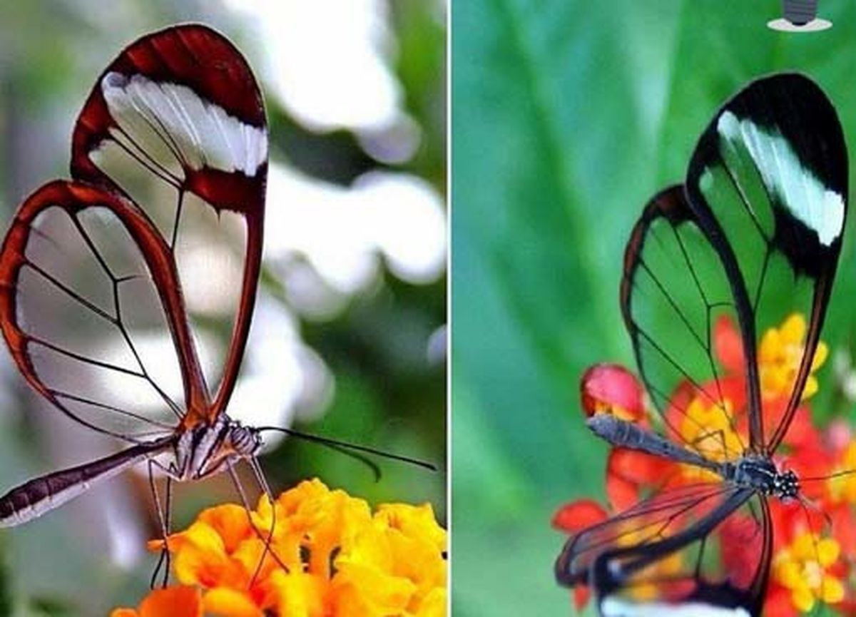 تصویری کمیاب از پروانه شیشه ای