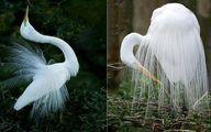 زیباترین پرندههای جهان با لباس عروس !