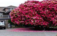 درخت گل بی نظیر با ۱۲۵ سال قدمت
