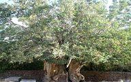 کهنسال ترین درخت پسته جهان؛عمر 1500 سال