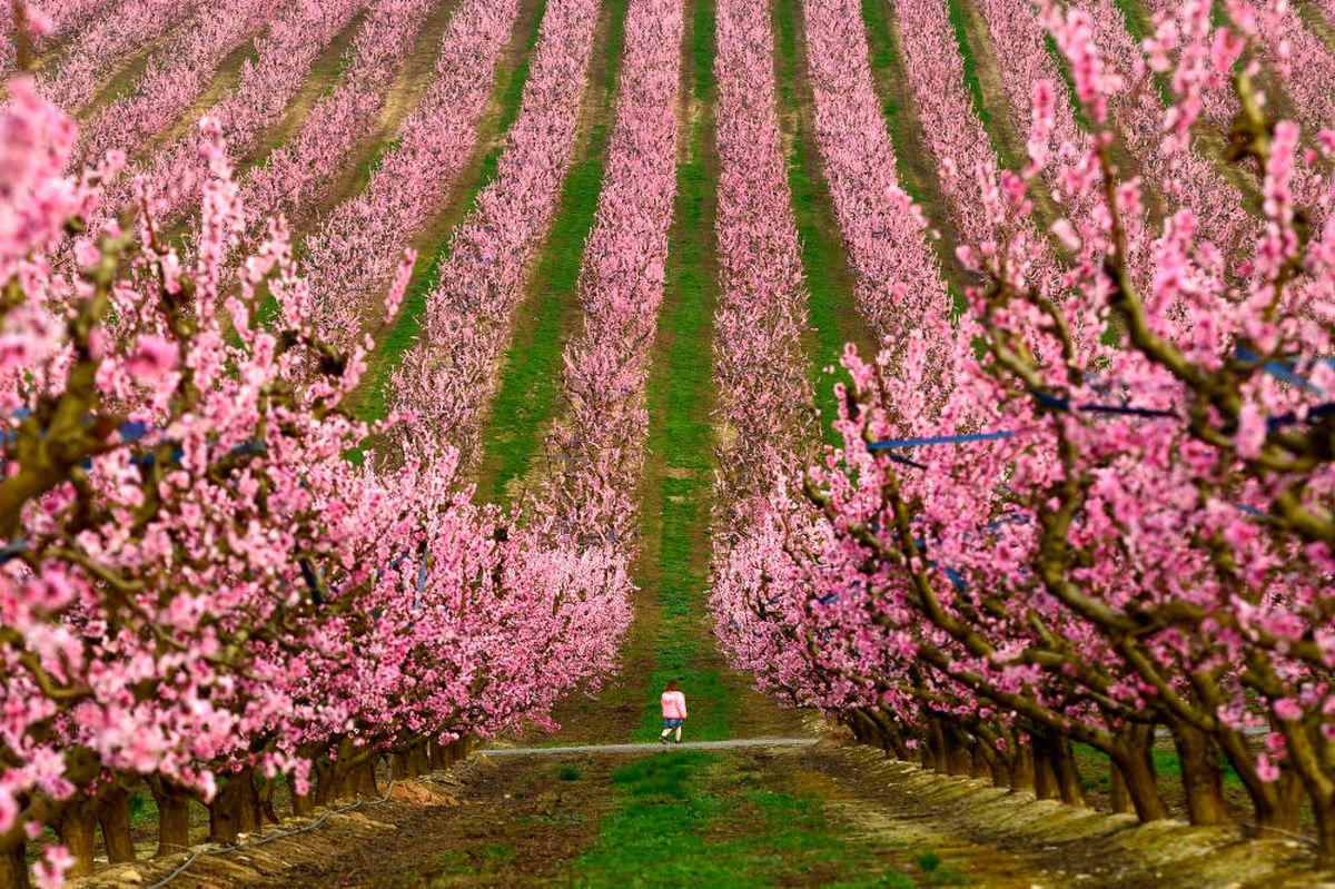 عکسی زیبا از دختری در باغ درختان هلو در اسپانیا