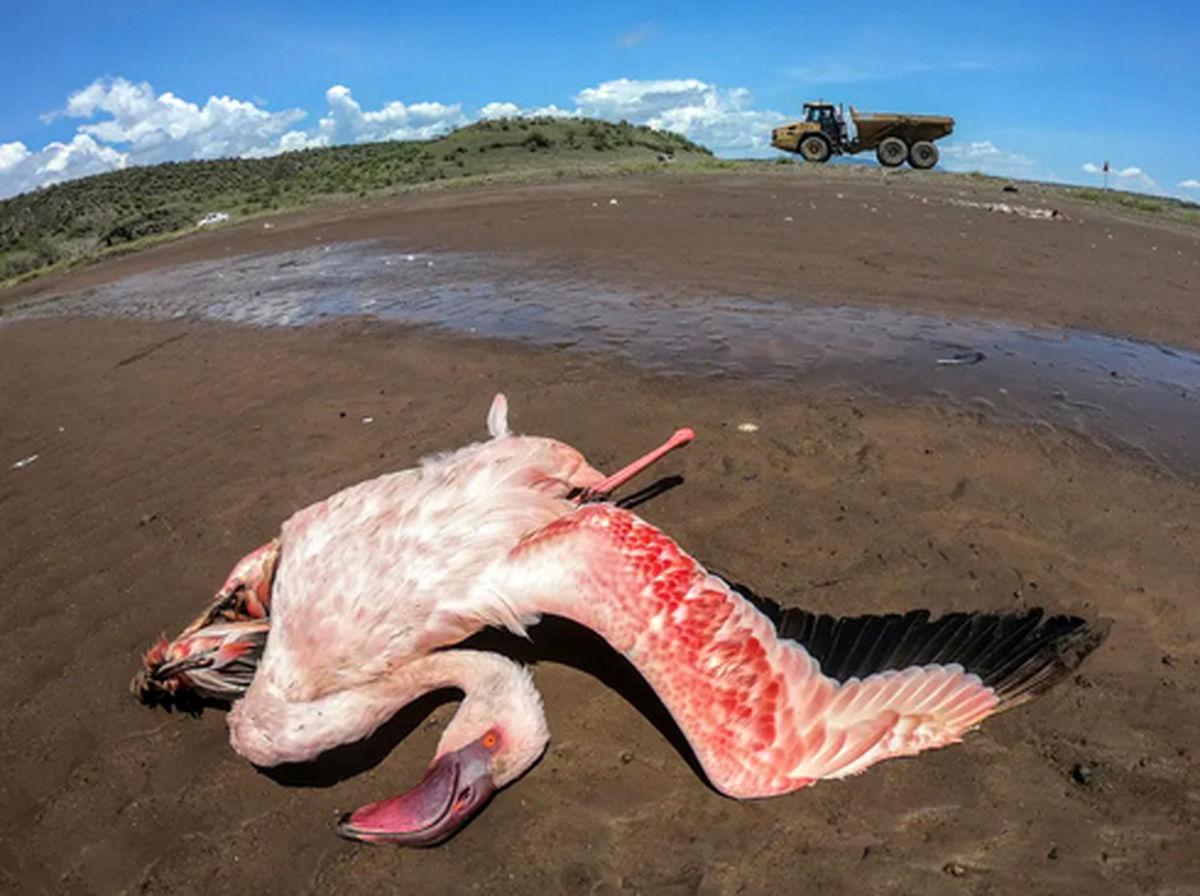 تصویری از یک لاشه فلامینگوی غول پیکر مهاجر در کنیا