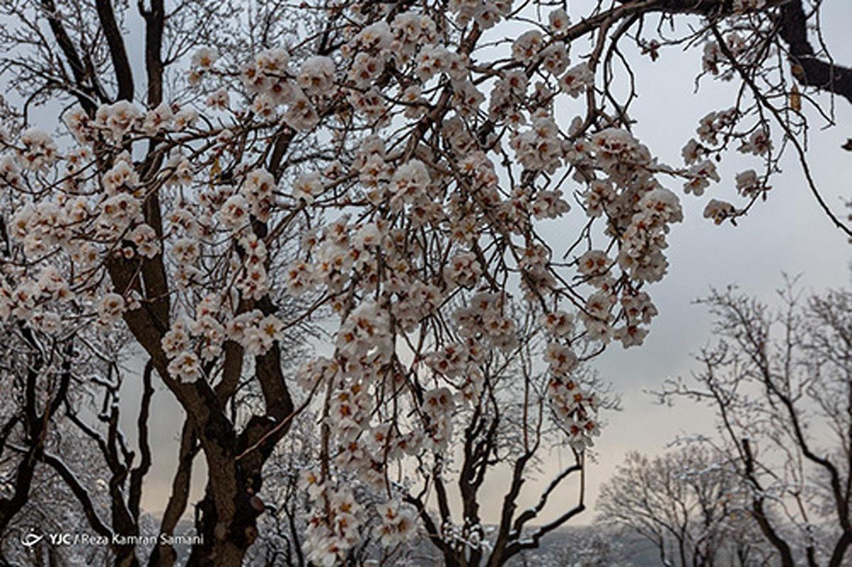 عکسهای زیبا از شکوفههای یخی